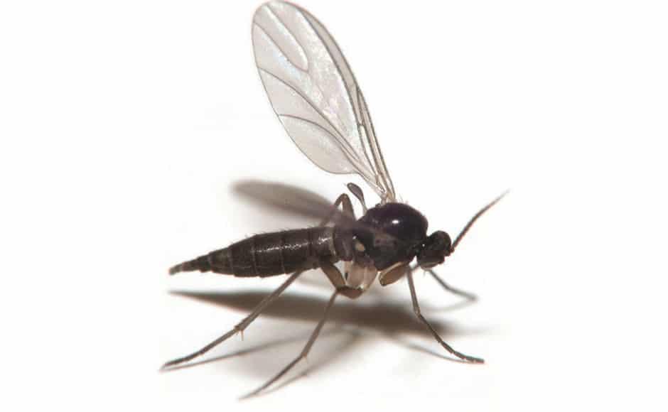 fungis gnat identification