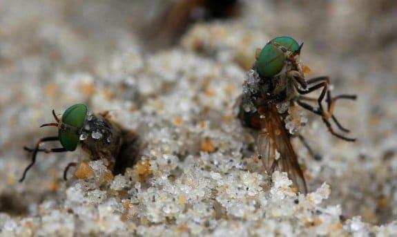 sand fly aka greenheads aka horse fly