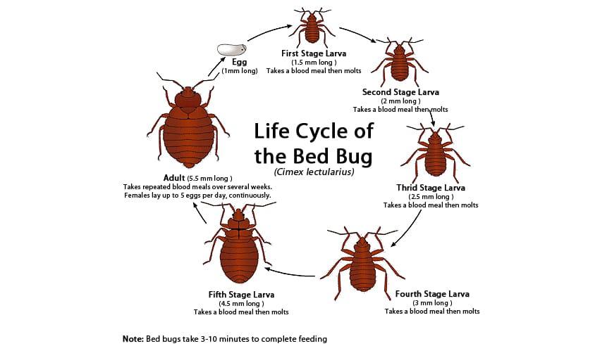 Bed bug lifecycle