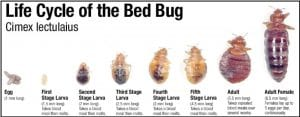 Eggs to larva to adult life cycle of bed bugs