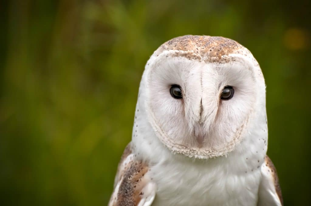 Barn owls can keep mice away