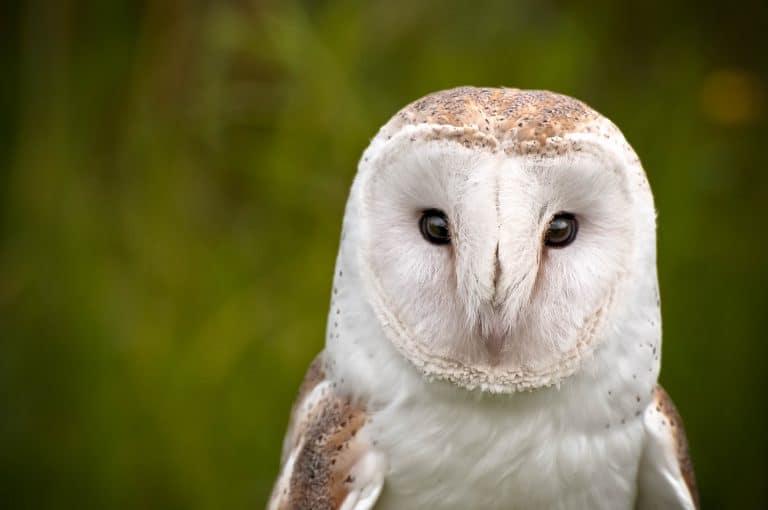 Barn owls can keep mice away