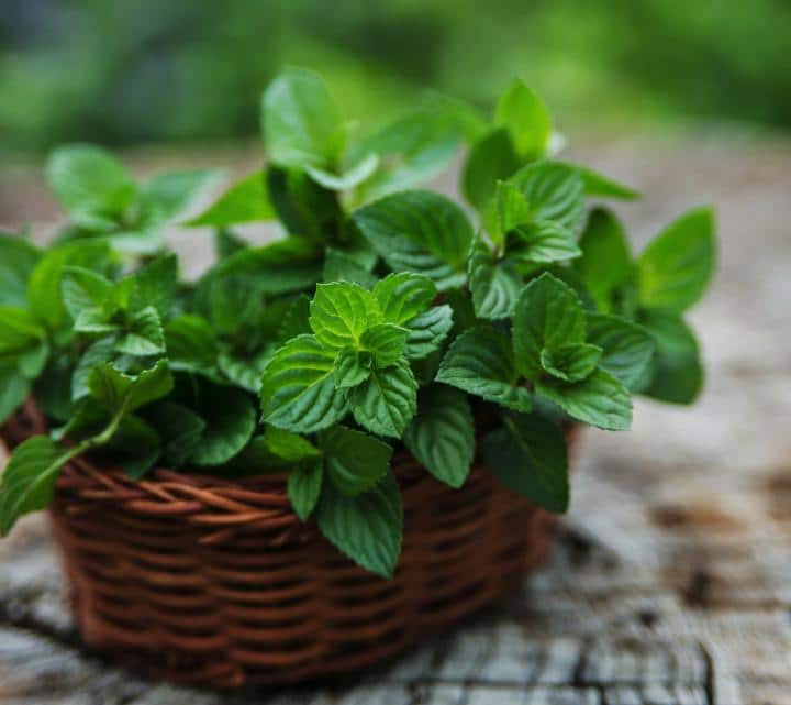Put peppermint plants in your kitchen to keep mice away