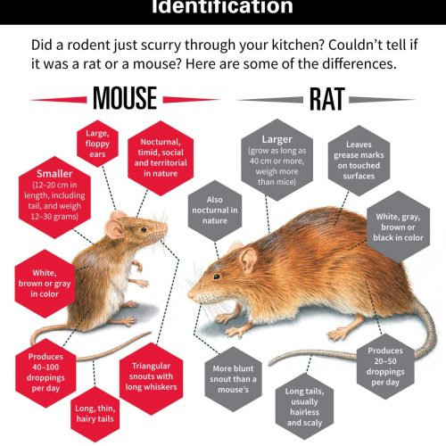 house-rodent-identification-mouse-rat